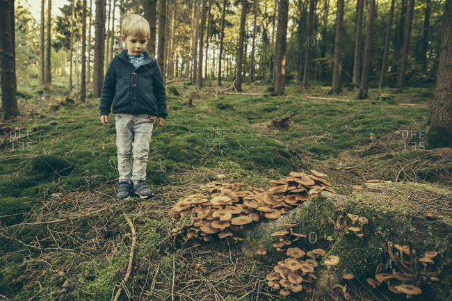 Little boy standing in forest looking at honey fungi