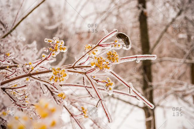 Branches encased in ice in Ontario, Canada