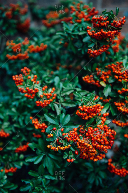 Close up of bush with red berries