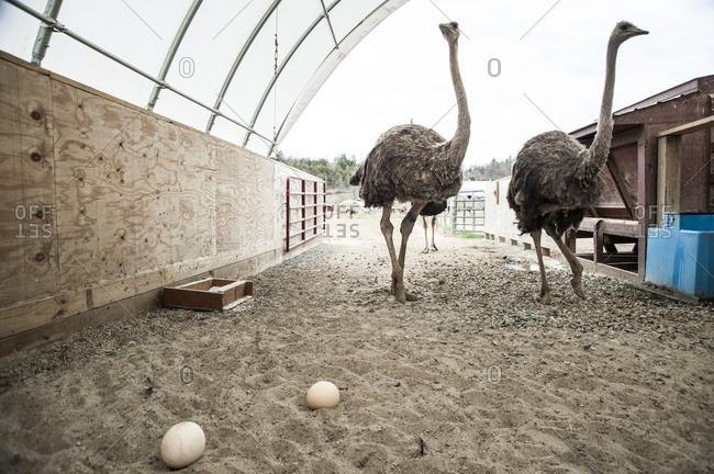 Ostriches and eggs