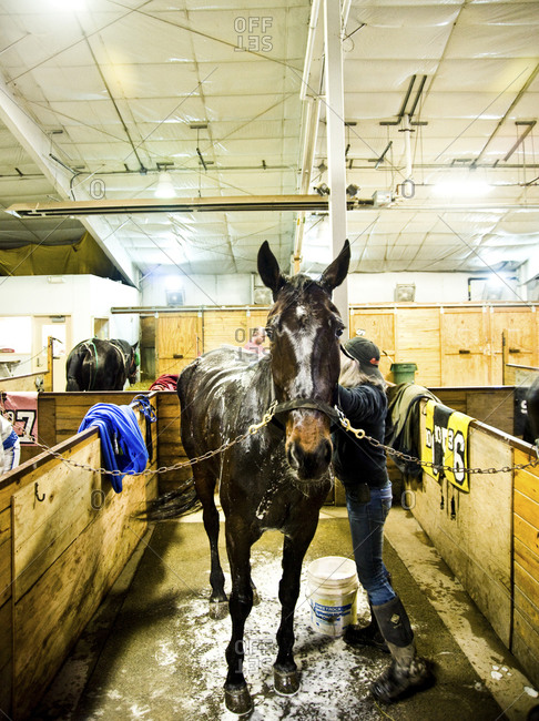 Monticello, New York - January 19, 2012: Horse, Lets Go Surfing, getting bathed and groomed after race at Monticello Raceway
