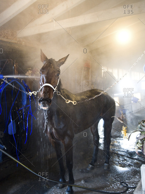 Monticello, New York - January 19, 2012: East Coast Girl, No. 2, getting bathed after race at Monticello Raceway