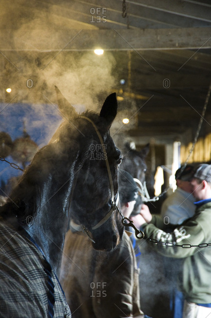 Monticello, New York - January 19, 2012: After race at Monticello Raceway, East Coast Girl, No. 2, gets bathed