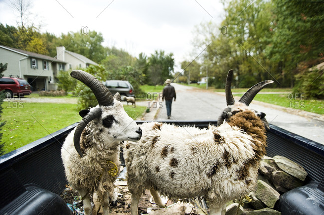 Sheep in a truck