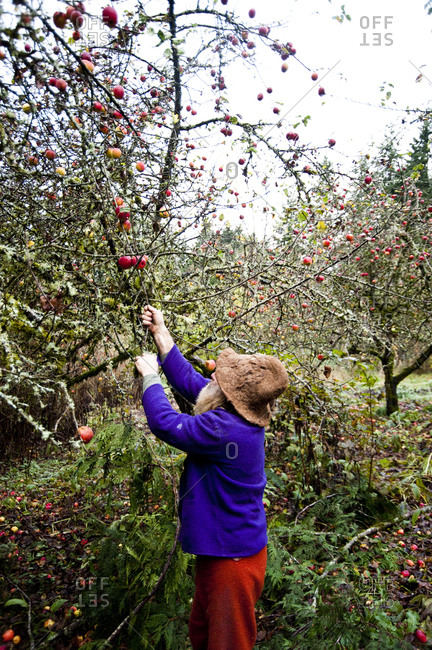 Sedro-Woolley, Washington - November 16, 2012: SunRay Kelley and apple trees on his property