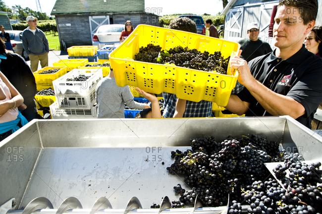 Cutchogue, New York - October 10, 2010: Crushing and destemming of grapes at Sannino Bella Vita Vineyard