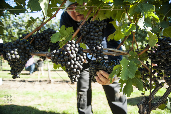Busy hands picking Cabernet Sauvignon grapes