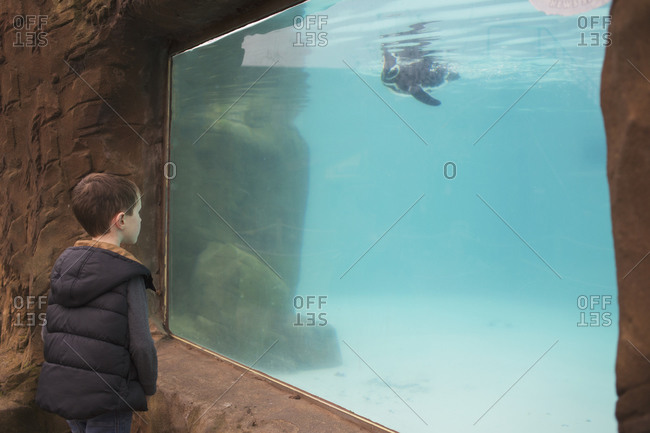 Blackpool, UK - November 1, 2015: Little boy looking at a penguin in an aquarium