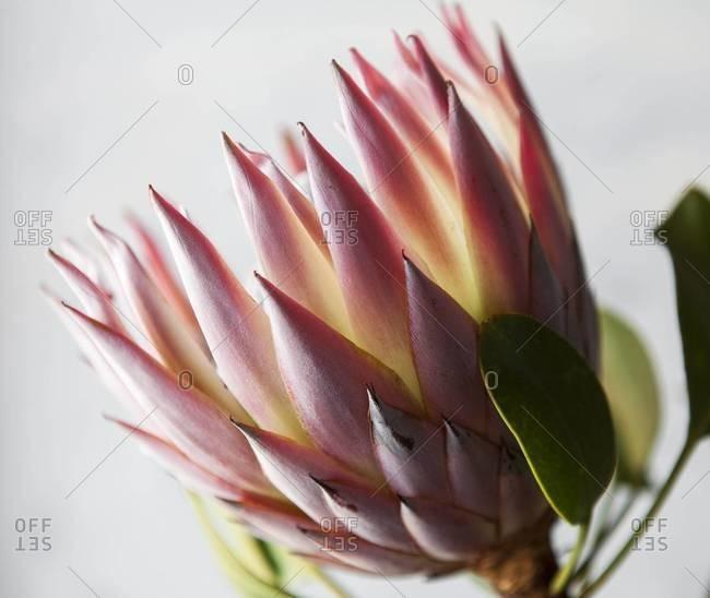 King protea flower in bloom
