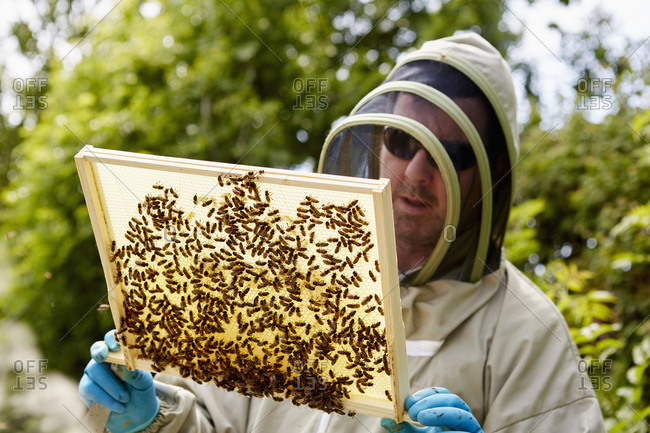 A beekeeper in a suit holding up a wooden frame covered with bees.