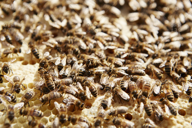 Bees working on a honeycomb in a beehive.