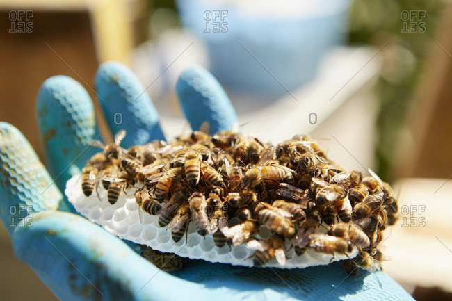 A hand holding a small plastic honeycomb form covered in honey bees.