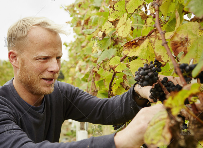 A grape picker at work selecting bunches of grapes on the vine.