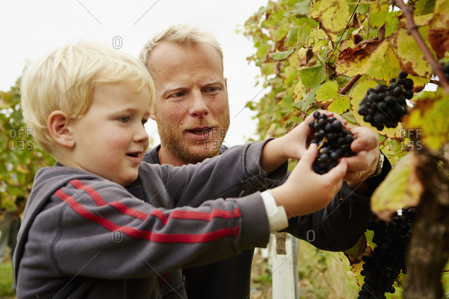 A man and his son selecting bunches of red ripe grapes on the vine.
