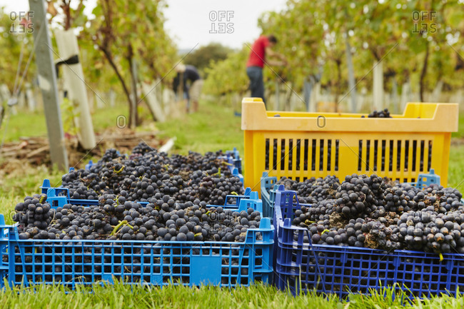 Grape Pickers at work harvesting red grapes. Heaped crates ready for collection.