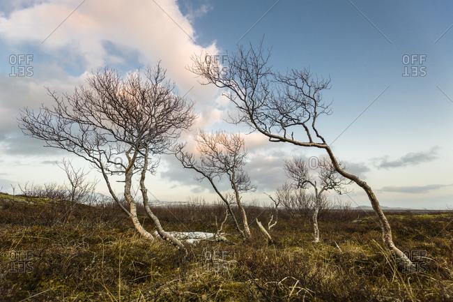 Windblown trees in a rural landscape in Iceland
