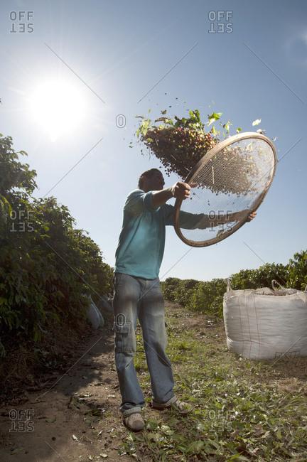 Cabo Verde, Minas Gerais, Brasil - November 3, 2015: Man sifting coffee beans in field