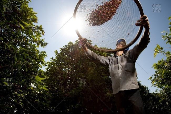Minas Gerais, Brasil - November 10, 2015: Man sifting coffee beans in a field
