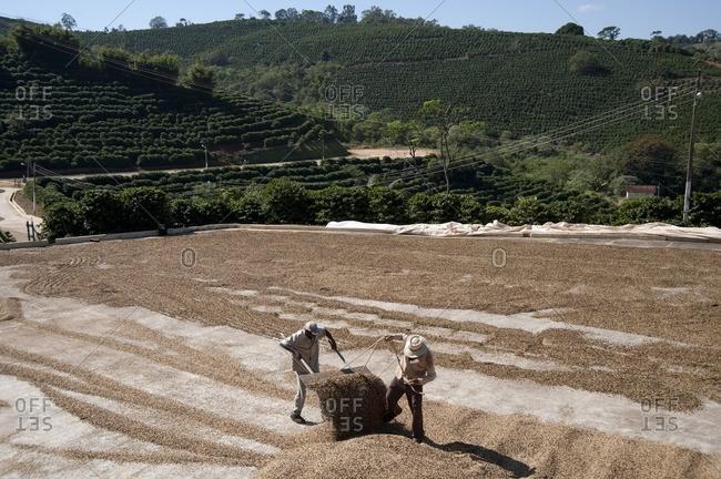 Minas Gerais, Brasil - November 10, 2015: Men drying coffee beans in a field