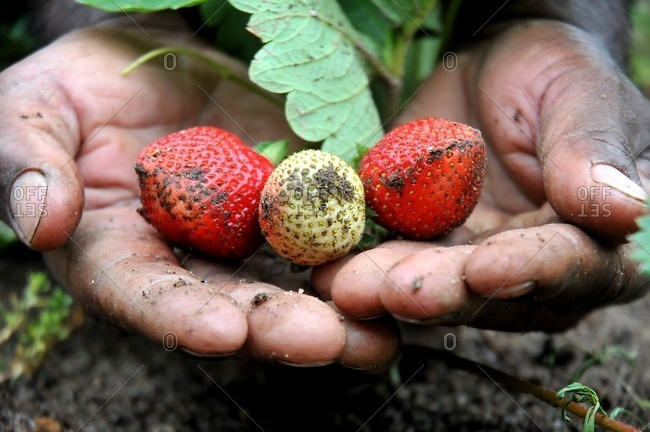 Ripe strawberries in dirt covered hands