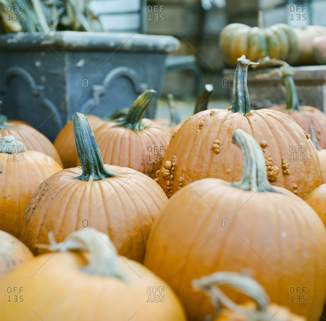 Close up of several pumpkins with goosebumps