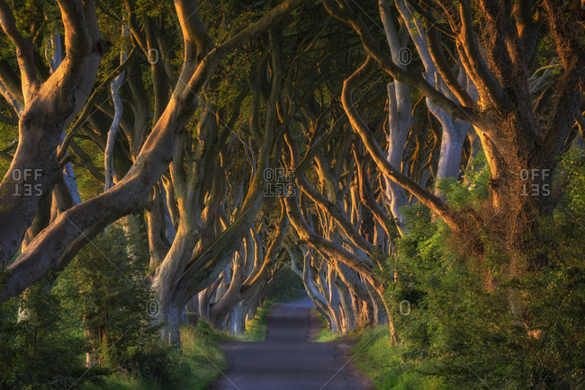 Alley and beeches known as Dark Hedges