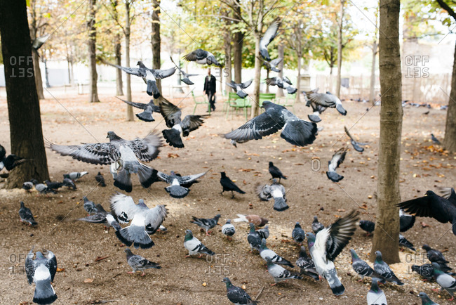 Flock of pigeons in Parisian park