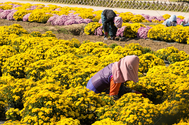Gardeners working among rows of chrysanthemums on farm