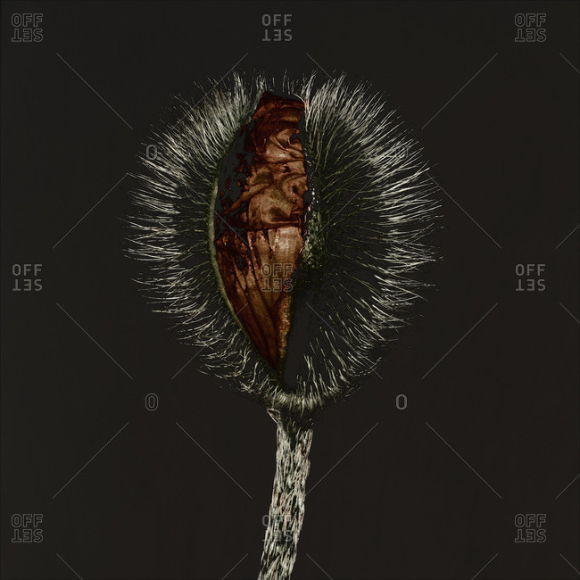 Shriveled  petals in a spiny pod