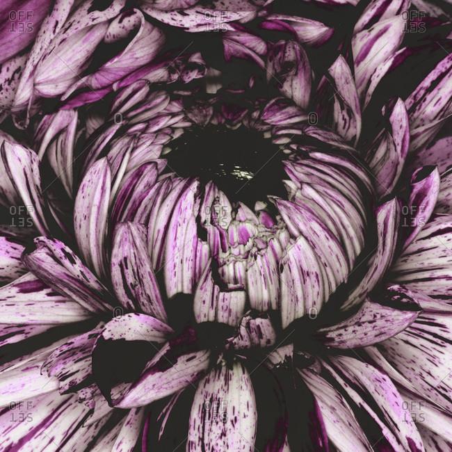 Center of a purple flower blossom