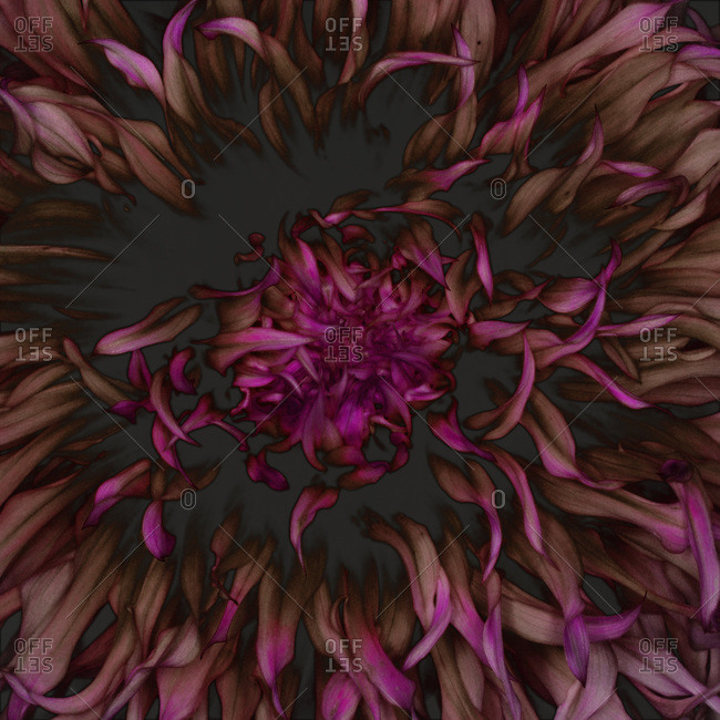 Delicate petals of a bursting purple flower