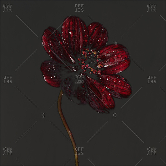 Vibrant red flower with water droplets