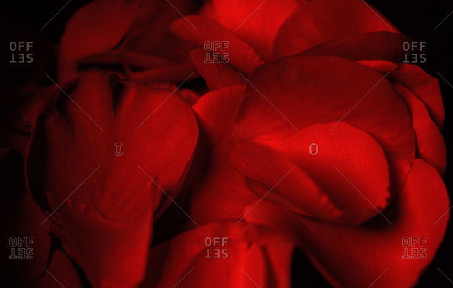 Close up of red rose petals