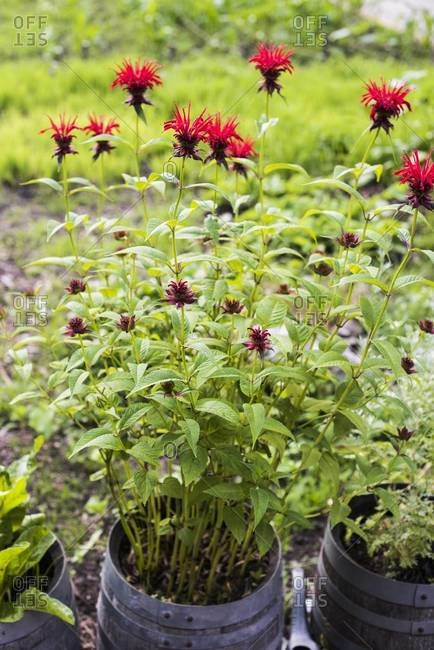 Bee balm plant in a barrel