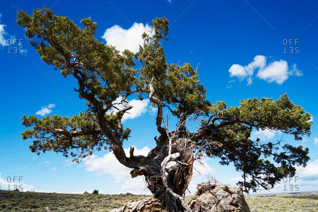 Gnarled tree on a grassy plain
