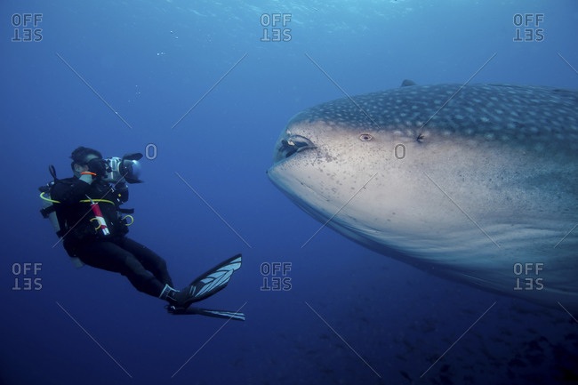 Underwater photographer faces off with whale shark