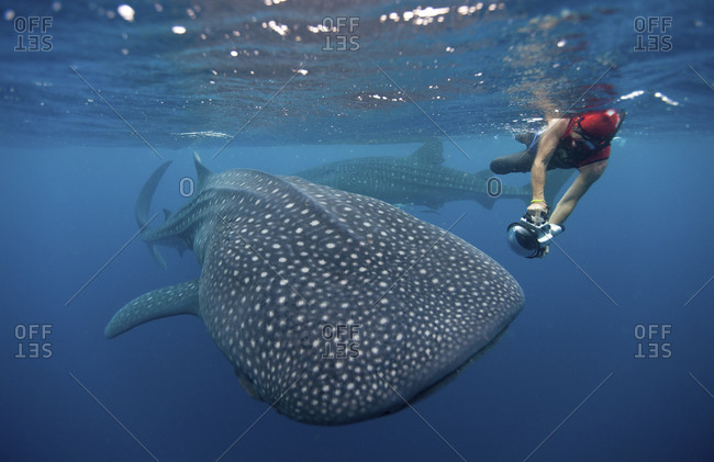 Snorkeler captures picture of whale shark
