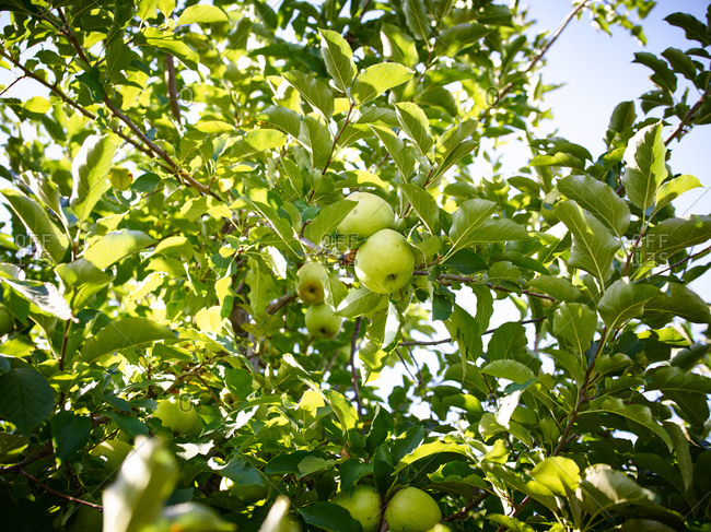 Green apples in an apple tree
