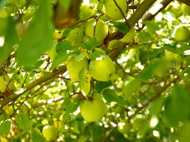 Close up of green apples in an apple tree