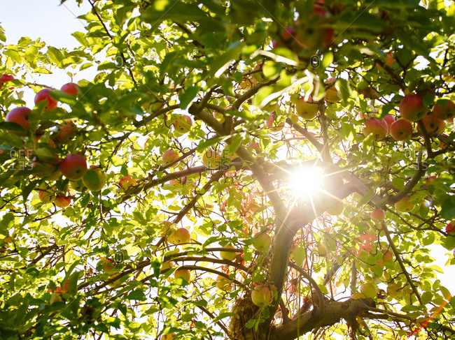 Sun shining through an apple tree