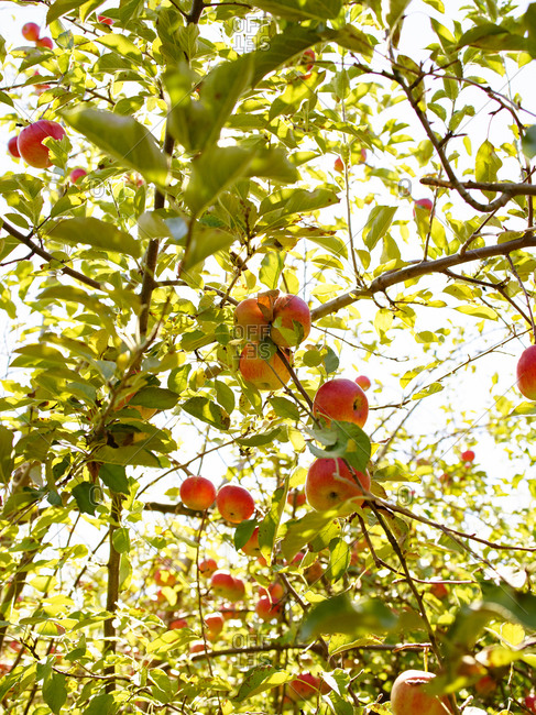 Apples in an apple tree