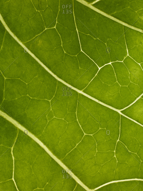 Close up of veins on an herbal leaf