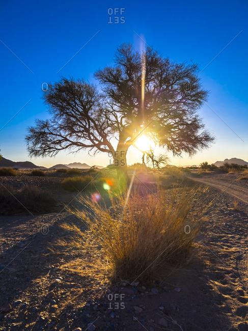 Tree in back light in Kulala Wilderness Reserve at Namib desert