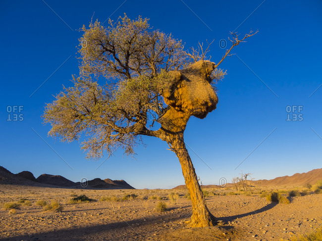 Camel thorn with large weaver bird nest in Kulala Wilderness Reserve at Namib desert