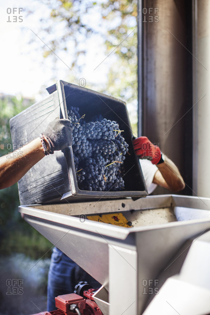 Workers dumping grapes into crusher and de-stemmer