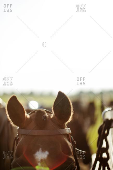Horses ears in warm sunlight