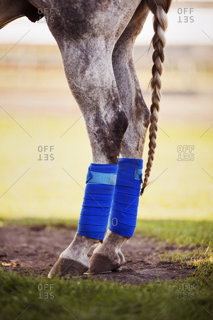 Protective tendon boots on a polo pony