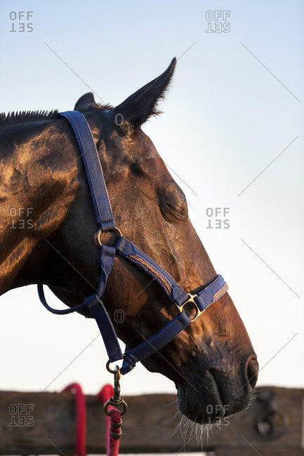 Tired horse with its eyes closed