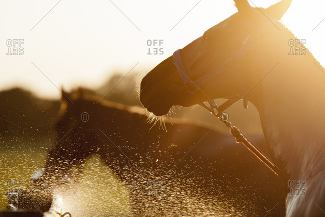 Horses being hosed down with water