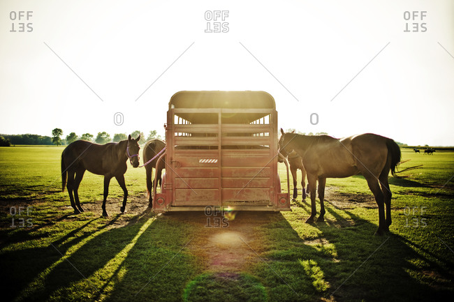 Polo ponies standing next to horse trailer